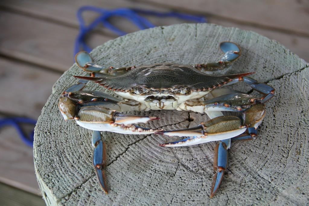 blue-crab-478183_1920